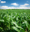 Corn field Royalty Free Stock Photos
