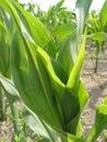 Corn Field - 2 Royalty Free Stock Photo