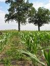 Corn  Field - 3 Royalty Free Stock Photo