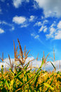 Corn field Stock Photography