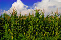 The corn field Royalty Free Stock Photo