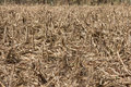 Corn field affected by drought Royalty Free Stock Photo