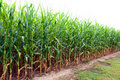 Corn Field in Alabama Royalty Free Stock Photography