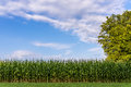 Corn field beautiful sky over in early summer evening Royalty Free Stock Photography