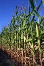 Corn field - close-up Royalty Free Stock Photo