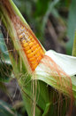 Corn in field corn cob close view on crop the Stock Photography