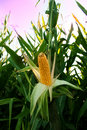 Corn in field, corncob Royalty Free Stock Photo
