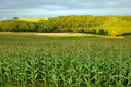 Corn field in the country side Royalty Free Stock Photo