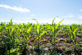 Corn field cultivated with young Royalty Free Stock Photography