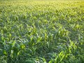 Corn field at dawn in the summer. Israel, June month. Royalty Free Stock Photo