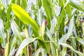 Corn field detail ripening growing in Royalty Free Stock Image