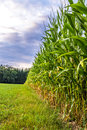 Corn field edge beautiful view of with dramatic sky Royalty Free Stock Photo