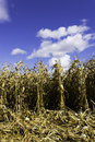 Corn field in the fall Stock Image