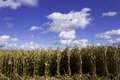 Corn field in the fall Royalty Free Stock Image