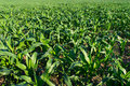 Corn field green as background Royalty Free Stock Image