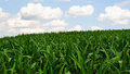 Corn field green with blue sky and white clouds Stock Photography