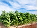 Corn field green plants bio under blue sky Stock Image