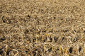 Corn field after harvest with stover the broken stalks leaves and cobs Stock Photography