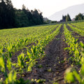 Corn field in late spring low angle view of beautiful green agriculture concept Stock Photos