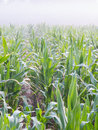 Corn field in morning fog zead mays with water drops on the leaves Royalty Free Stock Photos