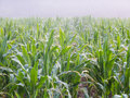Corn field in morning fog zead mays with water drops on the leaves Stock Photo