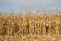 Corn field ready for harvest dry mature before harvesting details Royalty Free Stock Photos