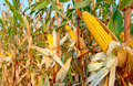 Corn field ripe on the cob in a ready for harvest Stock Photo