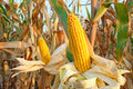 Corn field ripe on the cob in a ready for harvest Stock Images
