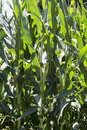 Corn field with ripe ears Royalty Free Stock Photo