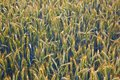 Corn field with spica and structured spear Royalty Free Stock Images