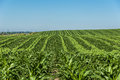 Corn field stripes Royalty Free Stock Photo
