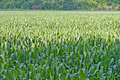 Corn Field in Summer Royalty Free Stock Photos
