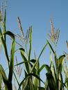 Corn field at summer Stock Photo
