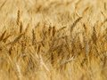 Corn field in summer harvest time Royalty Free Stock Photo