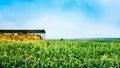 Corn Field In Summer Season Royalty Free Stock Photo