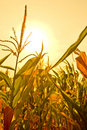 Corn field with sun Royalty Free Stock Photo