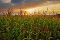 Corn field at sunset Royalty Free Stock Photo