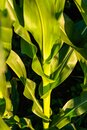 Corn field in sunset. Maize closeup, agriculture theme Royalty Free Stock Photo