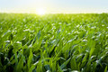 Corn field in sunset - maize field Royalty Free Stock Photo