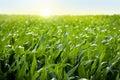 Corn field in sunset - maize field