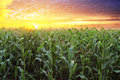 Corn field at sunset Royalty Free Stock Photo