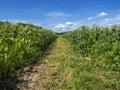 Corn field sweet farm against blue cloudy sky Stock Photos