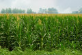 Corn field with tassels Stock Photos