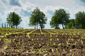 A corn field with trees in the background Stock Photography