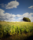 Corn field trees and blue sky Stock Image