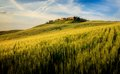 Corn Field in Tuscany Stock Images