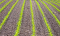 Corn field with young plants Royalty Free Stock Photo