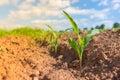 Corn germ Royalty Free Stock Photo