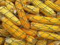 Corn in granary beautiful and accentuate yellow after recently harvest Stock Photos