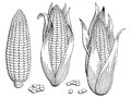 Corn graphic black white isolated sketch illustration